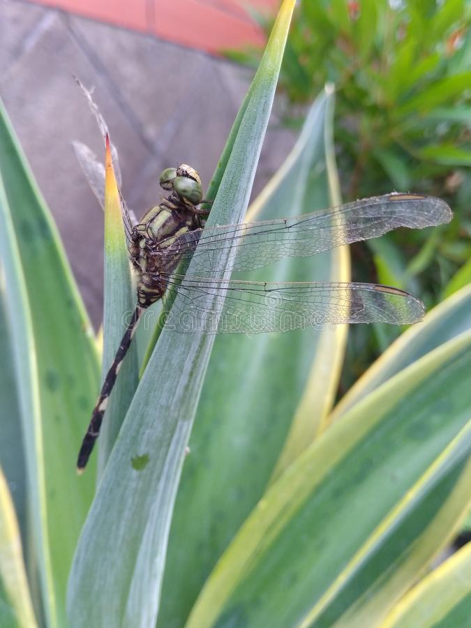 dragonflies perched on the dicactus royalty free stock photography