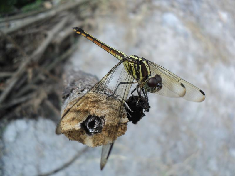Dragonflies perched on wooden stock photos
