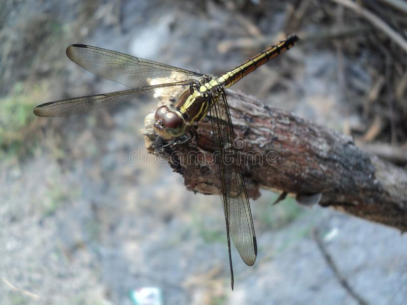 Dragonflies perched on wooden stock image