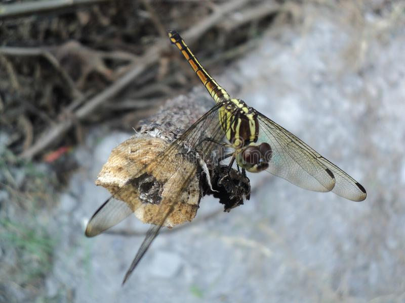 Dragonflies perched on wooden royalty free stock images