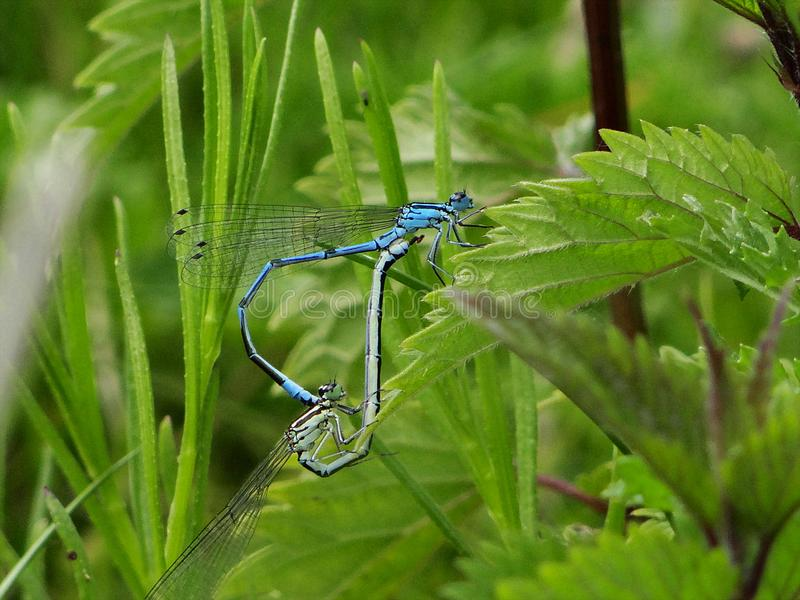 Dragonflies in perfect heart formation resting on the lake. In the Eifel royalty free stock photography
