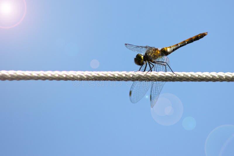 Dragonfly, мужчина Brunneum Orthetrum, южная шумовка, принадлежа семье Libellulidae Мужской dragonfly сидит на веревочке стоковое изображение rf