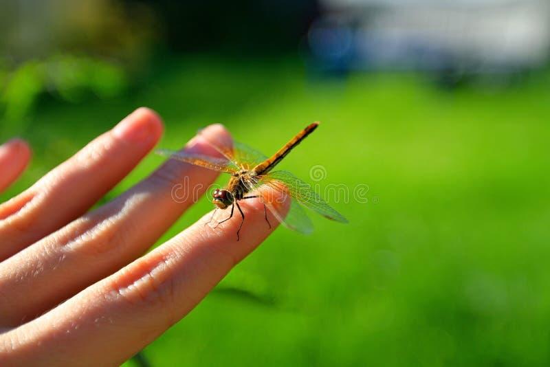 Dragonfly Ñ  Ñ 'Ñ€ÐΜкР¾ за piękna ciekawy z podnieceniem kolor fotografia royalty free