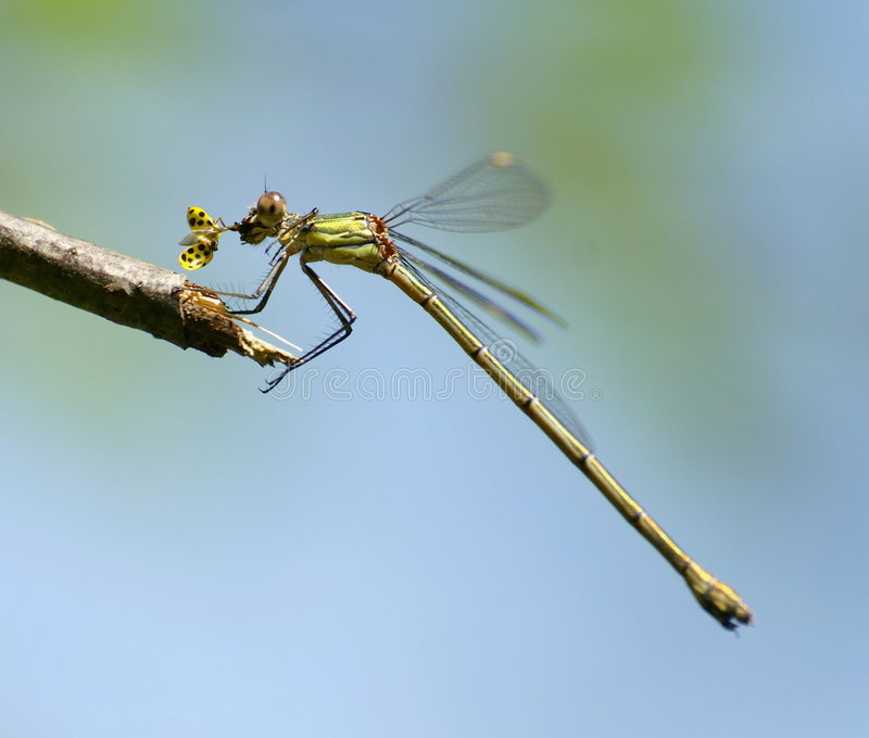 dragonfly łasowania ladybird obraz stock