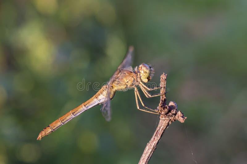 Dragonfly Брайна - женская шумовка Keeled стоковые фотографии rf