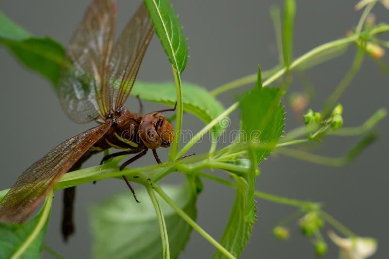 Dragonfly Брайна на заводе стоковое изображение rf