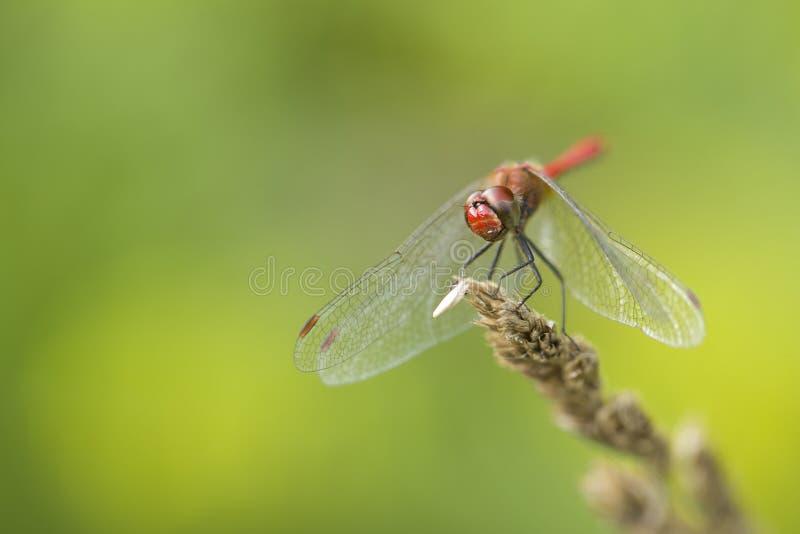 Dragonfly - бродячая змеешейка стоковое изображение