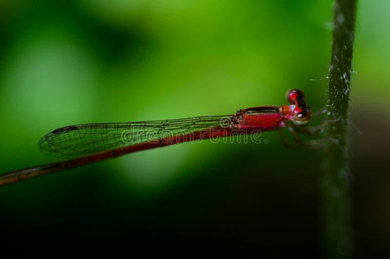 Dragonfly в зеленой свежести стоковая фотография