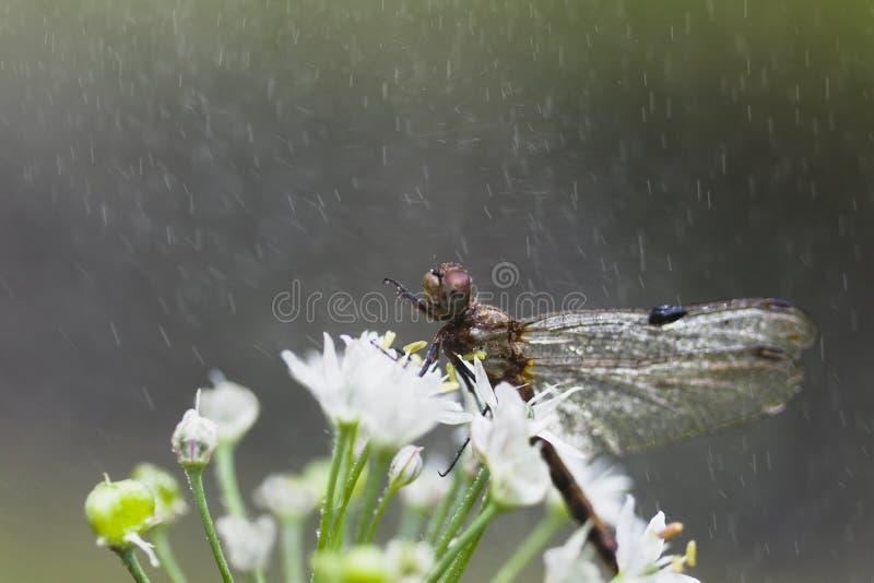 Download Dragonfly в дожде. стоковое изображение. изображение насчитывающей dragonfly - 33734041