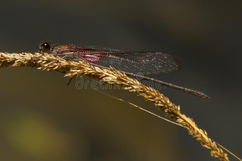 Dragonfly в лозе стоковое изображение