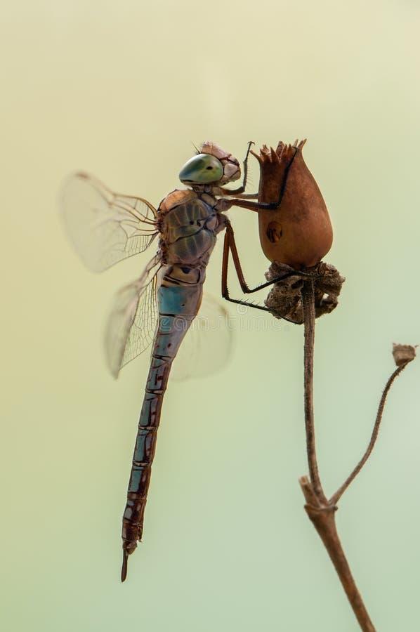 Dragonfly в раннем утре сушит свои крылья в луге стоковое изображение