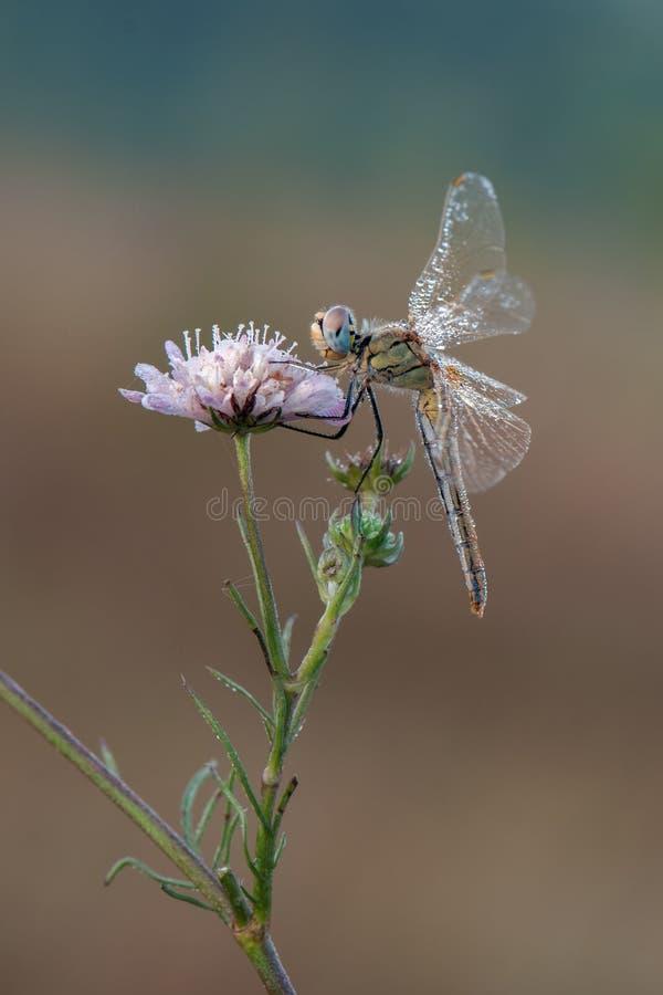 Dragonfly в росе сушит свои крылья в луге стоковые фотографии rf