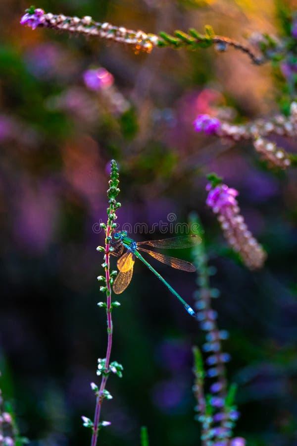 Dragonfly в фиолетовом вереске стоковое изображение rf