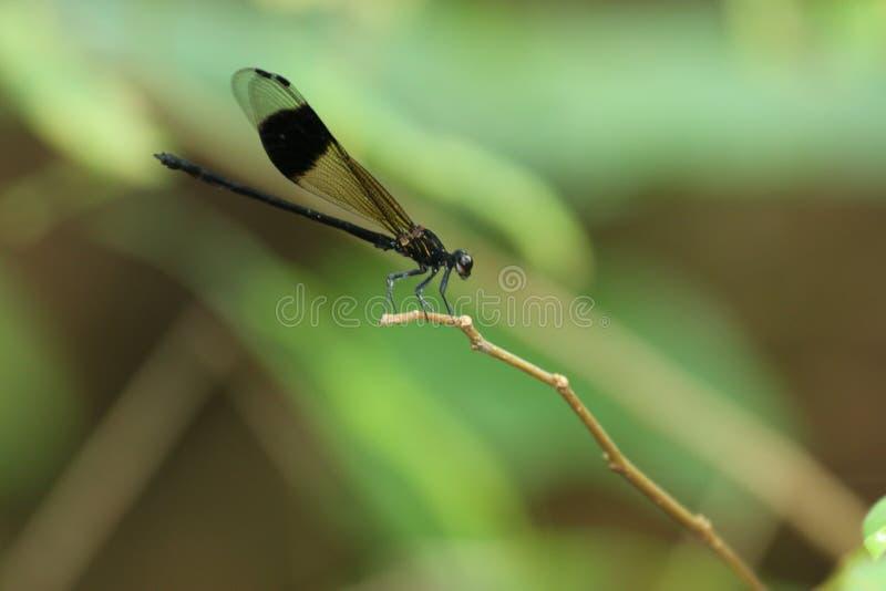 Dragonfly Гонконга стоковые фотографии rf