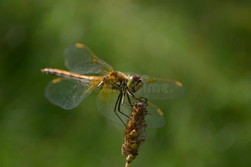 Dragonfly лета стоковое изображение