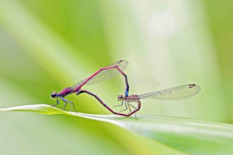 Dragonfly завизированный в атлантическом тропическом лесе стоковые изображения rf