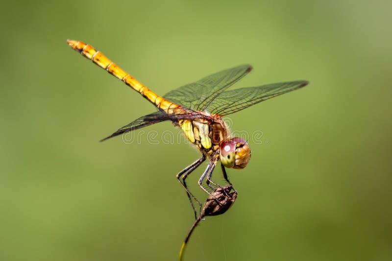 Dragonfly змеешейки женщины общий смотря вверх стоковые фотографии rf