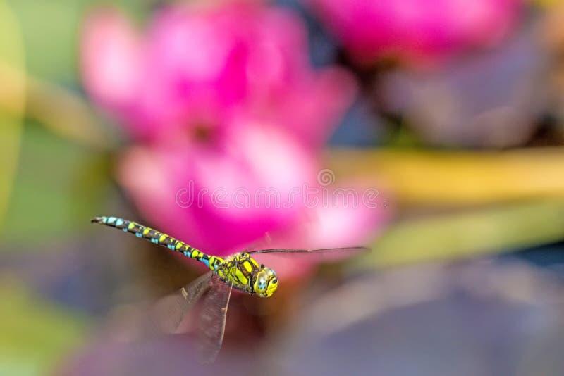 Dragonfly императора во время полета над прудом стоковая фотография
