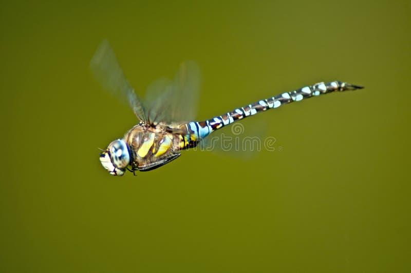 Dragonfly императора, imperator Anax стоковые фотографии rf
