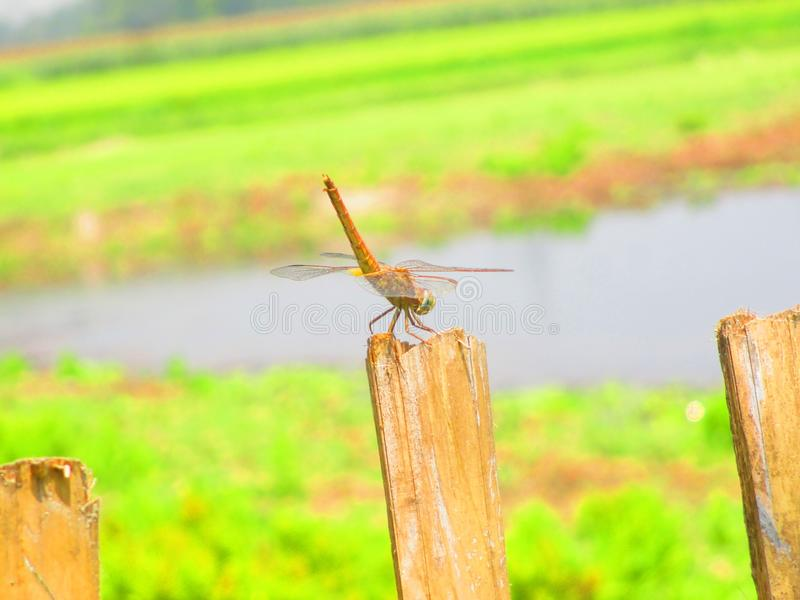 Dragonfly и озеро в предпосылке стоковые изображения rf