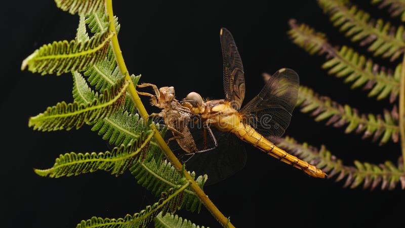 Dragonfly и раковина стоковое изображение rf