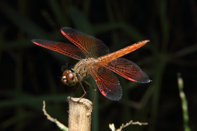 Dragonfly красного цвета макроса стоковое изображение rf