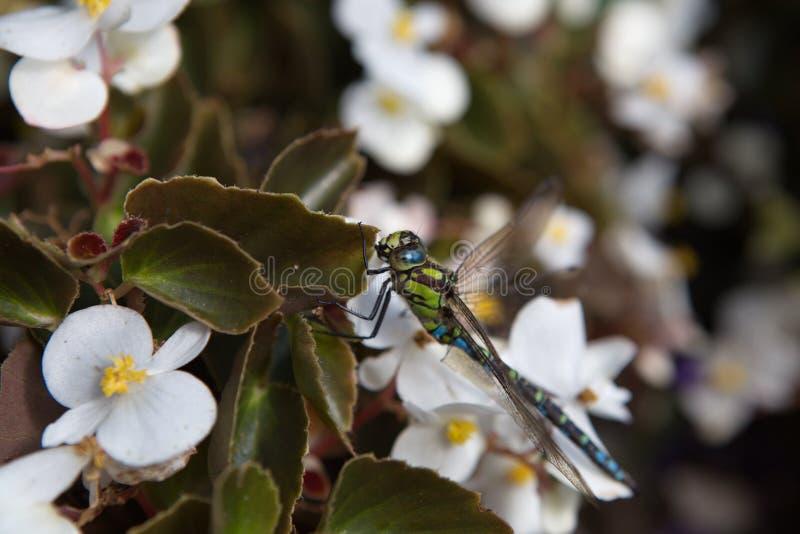 Dragonfly макроса стоковое изображение
