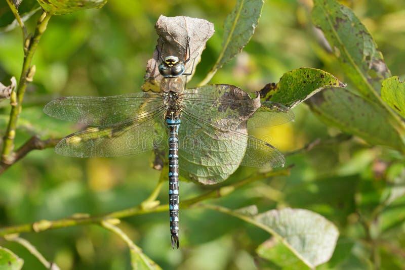 Dragonfly - мигрирующая лоточница стоковая фотография rf
