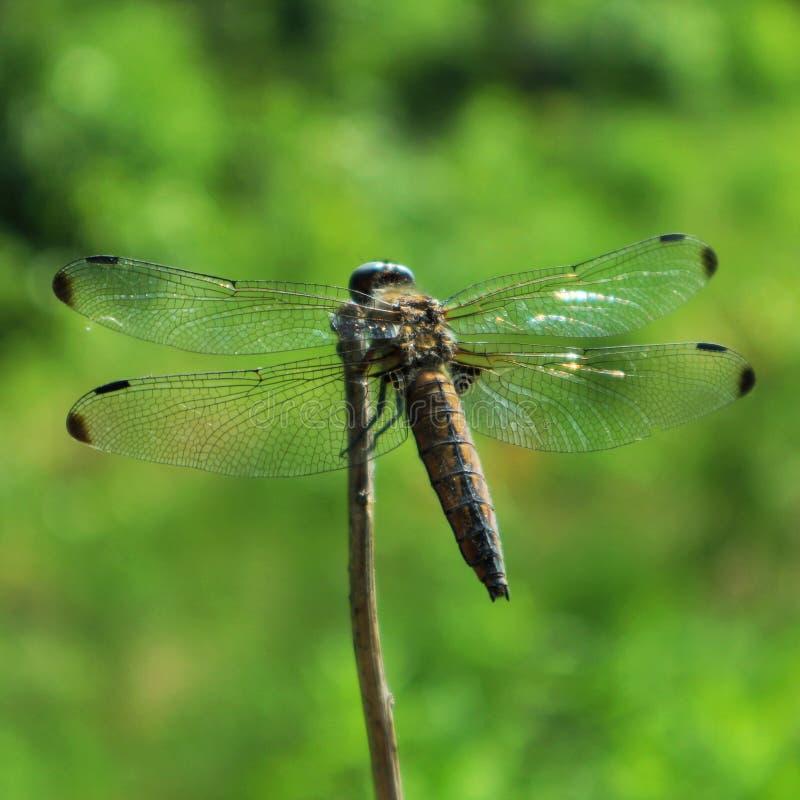 Dragonfly на ветви стоковые фото