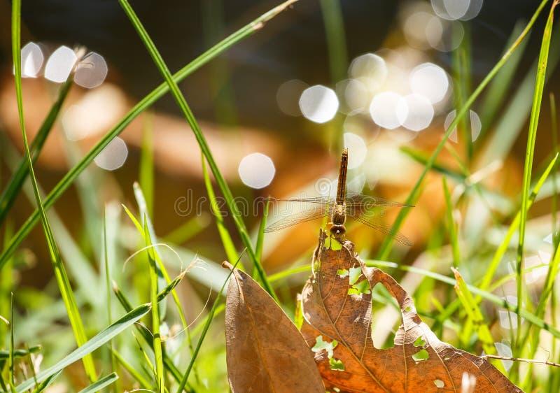 Dragonfly на высушенных листьях стоковая фотография rf
