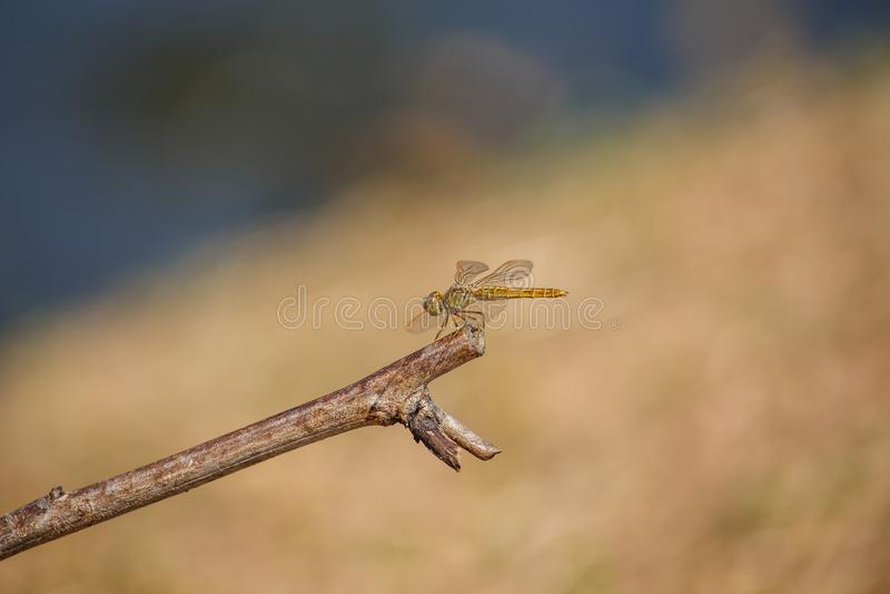 Dragonfly на высушенных листьях стоковые изображения