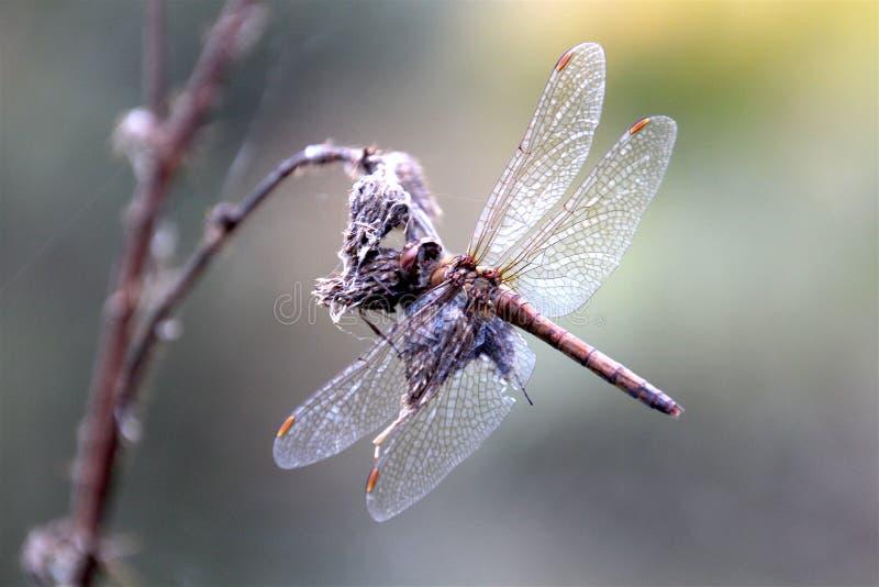 Dragonfly на его последней работе стоковое изображение