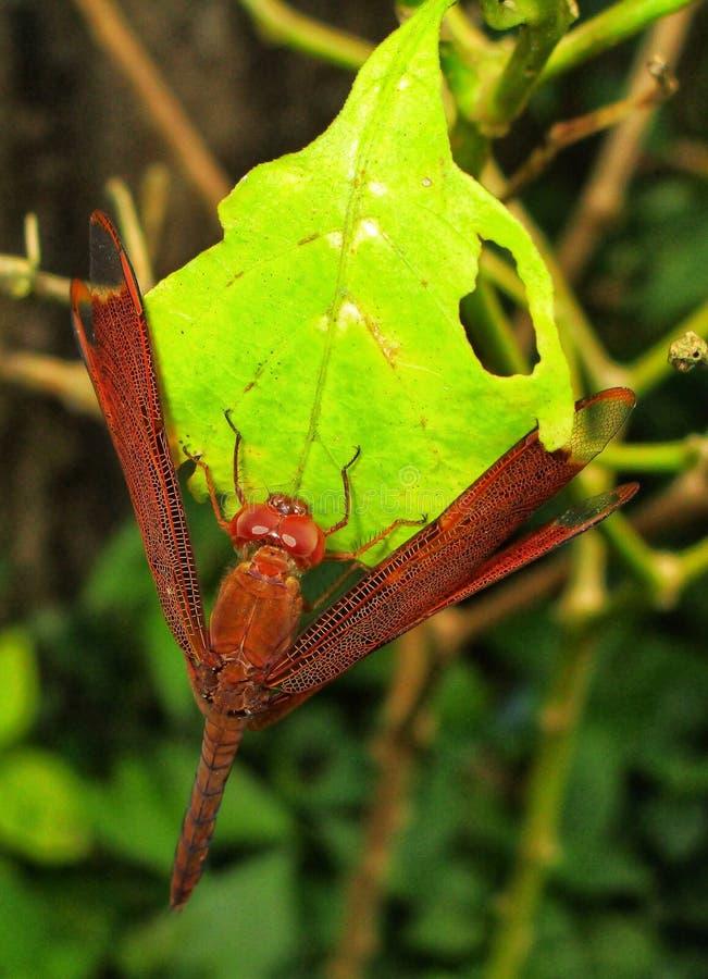 Dragonfly на листьях стоковое изображение