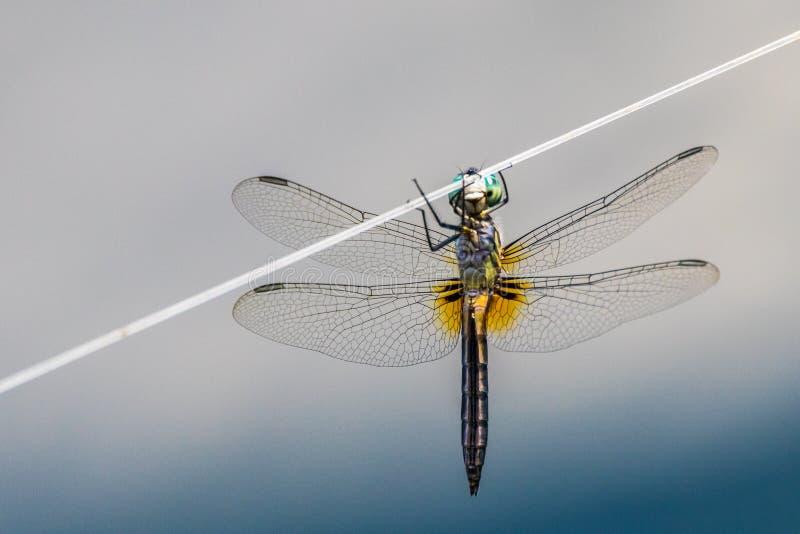 Dragonfly на проводе стоковые изображения
