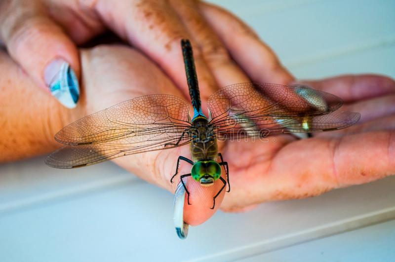 Dragonfly на руке женщины стоковые изображения