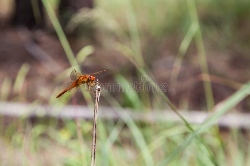 Dragonfly на ручке стоковое фото