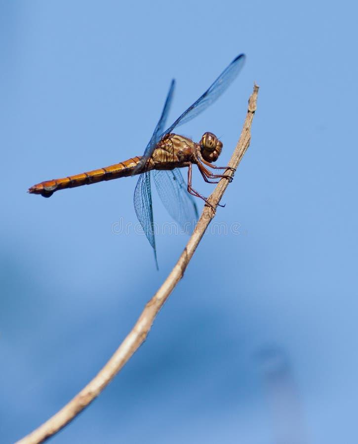 Dragonfly на ручке стоковая фотография rf