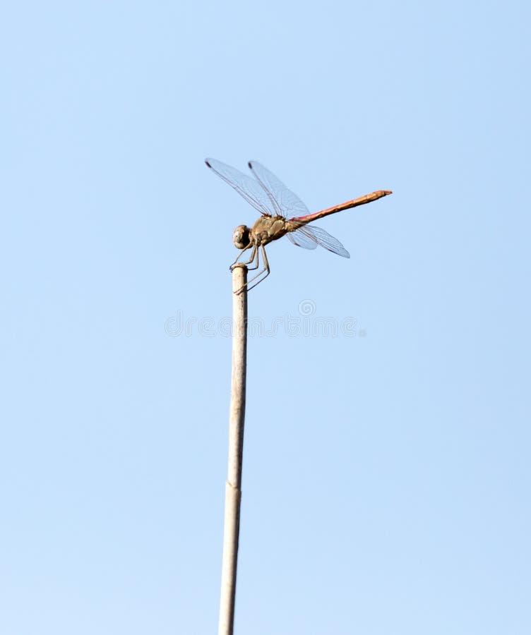Dragonfly на ручке outdoors стоковые фото