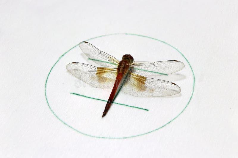 Dragonfly на символическом автостоянки вертолета на белой предпосылке это насекомое хищника быстрого летания длинное уплотненное стоковые фото