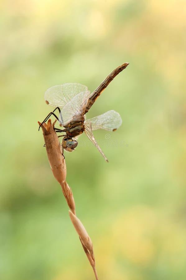 dragonfly на травинке сушит свои крылья от росы под первыми лучами солнца перед полетом стоковые изображения