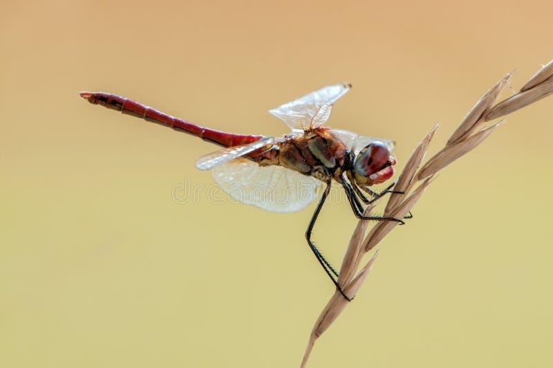 Dragonfly на травинке сушит свои крылья от росы под первыми лучами солнца стоковые фото