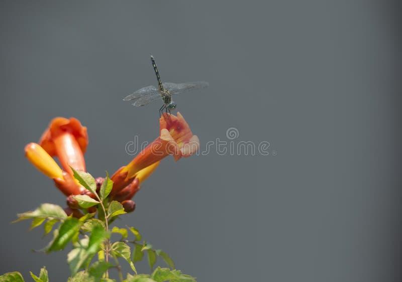 Dragonfly на цветке лозы трубы стоковые изображения rf