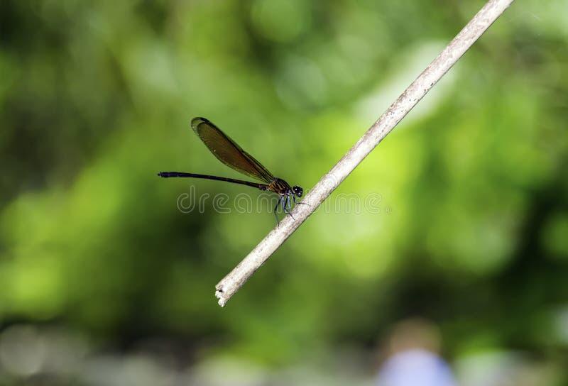 Dragonfly на юге Таиланда стоковая фотография