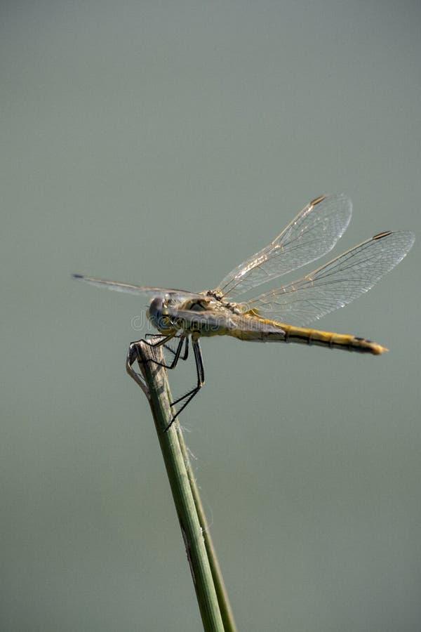 Download Dragonfly озером стоковое изображение. изображение насчитывающей крыла - 41660147