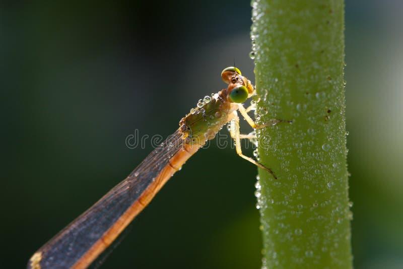 dragonfly оставаясь стержнем стоковые фотографии rf