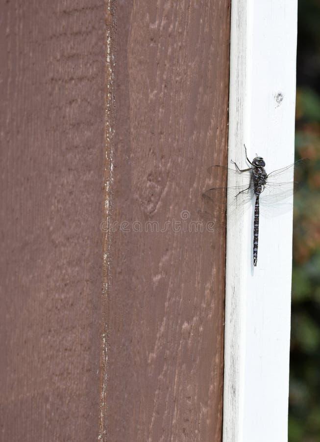 Dragonfly отдыхая на угле коричневого сарая стоковые изображения rf