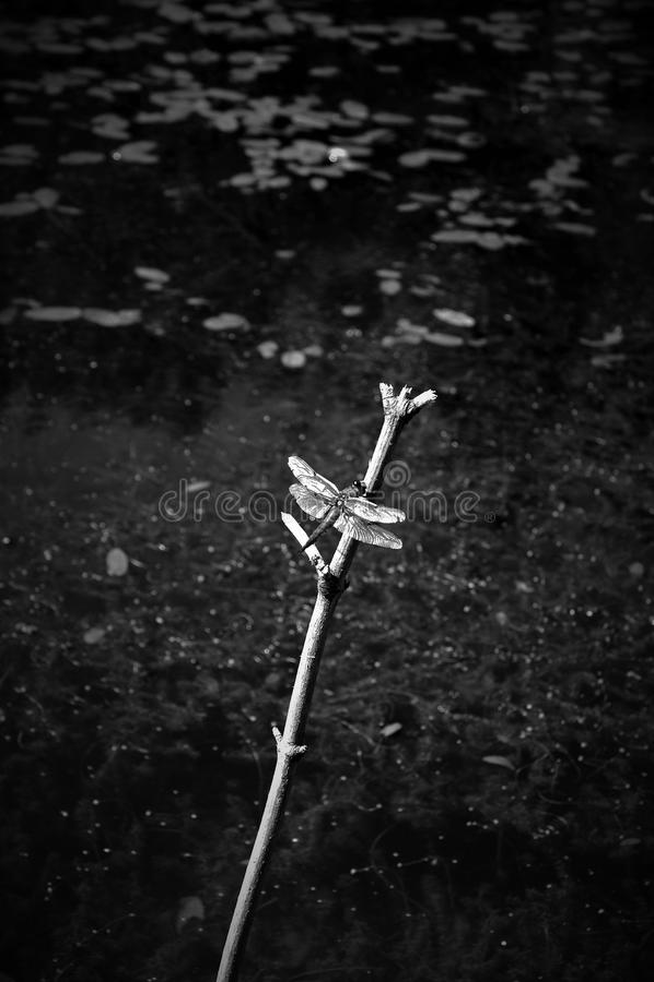Dragonfly отдыхая на ветви стоковое фото rf
