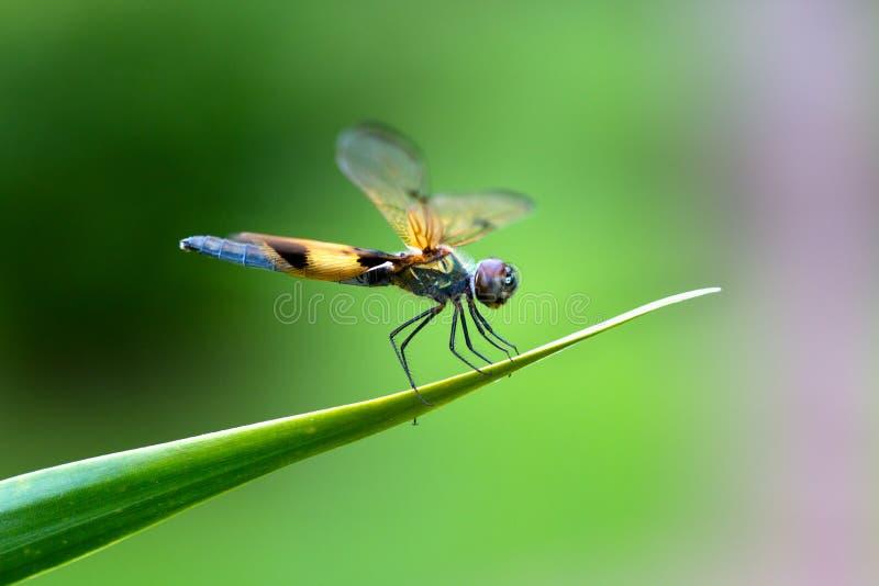 Dragonfly садить на насест на лист стоковое фото