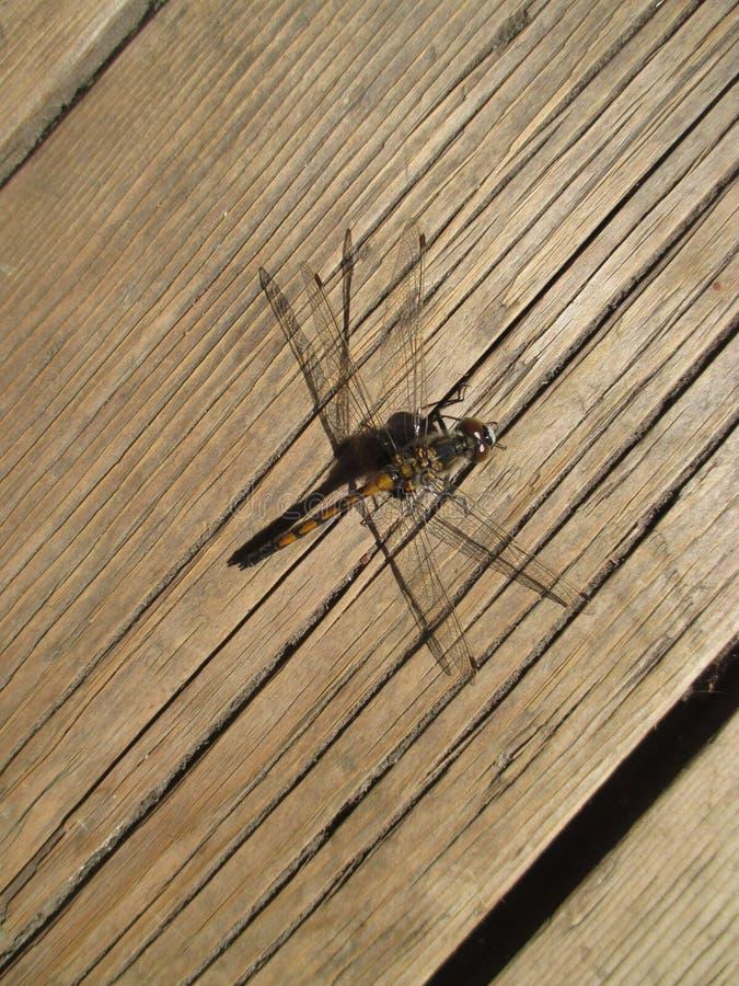 Dragonfly сидел вниз стоковые изображения rf