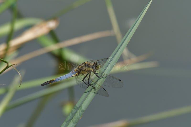 Dragonfly сидя на камне в солнце около пруда стоковые изображения